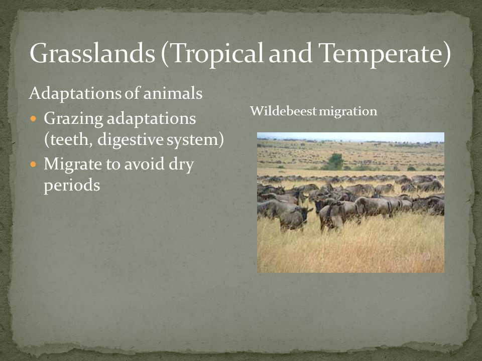 Adaptations of animals Grazing adaptations (teeth, digestive system) Migrate to avoid dry periods Wildebeest migration
