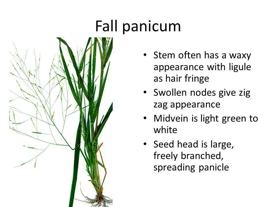 Fall panicum Stem often has a waxy appearance with ligule as hair fringe Swollen nodes give zig zag appearance Midvein is light green to white Seed head is large, freely branched, spreading panicle