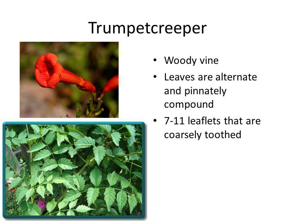 Trumpetcreeper Woody vine Leaves are alternate and pinnately compound 7-11 leaflets that are coarsely toothed