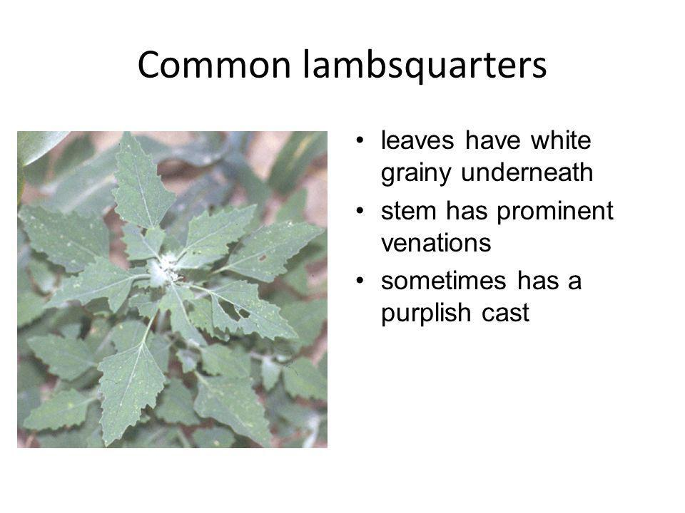 Common lambsquarters leaves have white grainy underneath stem has prominent venations sometimes has a purplish cast