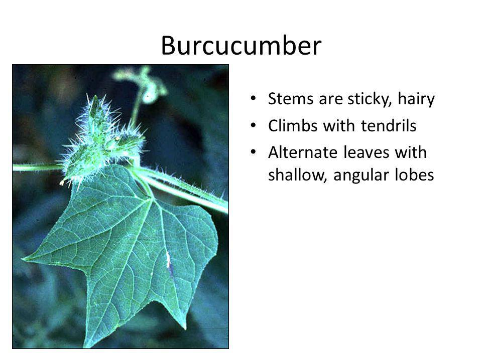 Burcucumber Stems are sticky, hairy Climbs with tendrils Alternate leaves with shallow, angular lobes