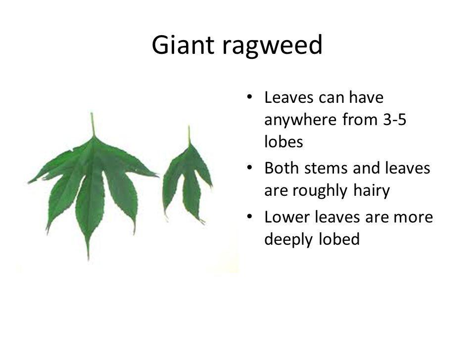 Giant ragweed Leaves can have anywhere from 3-5 lobes Both stems and leaves are roughly hairy Lower leaves are more deeply lobed