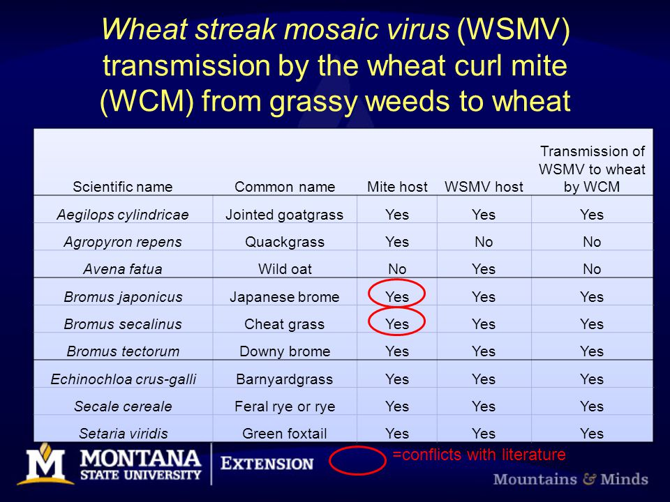 Wheat streak mosaic virus (WSMV) transmission by the wheat curl mite (WCM) from grassy weeds to wheat =conflicts with literature