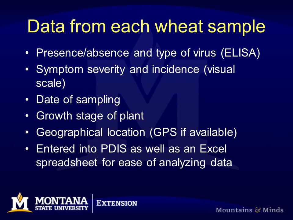 Data from each wheat sample Presence/absence and type of virus (ELISA) Symptom severity and incidence (visual scale) Date of sampling Growth stage of plant Geographical location (GPS if available) Entered into PDIS as well as an Excel spreadsheet for ease of analyzing data