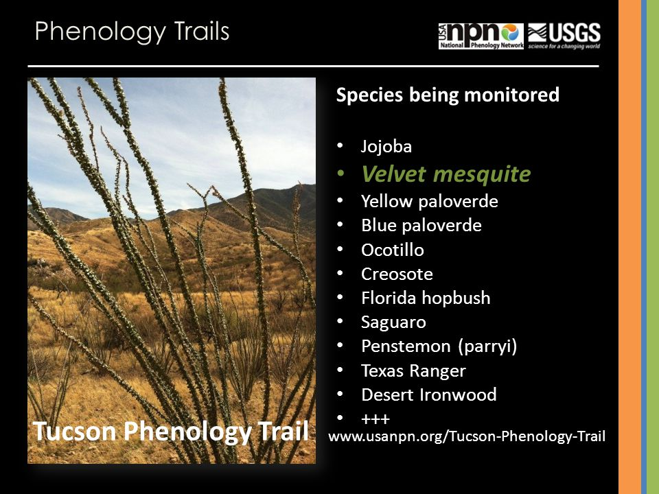 Phenology Trails Species being monitored Jojoba Velvet mesquite Yellow paloverde Blue paloverde Ocotillo Creosote Florida hopbush Saguaro Penstemon (parryi) Texas Ranger Desert Ironwood +++ Tucson Phenology Trail www.usanpn.org/Tucson-Phenology-Trail