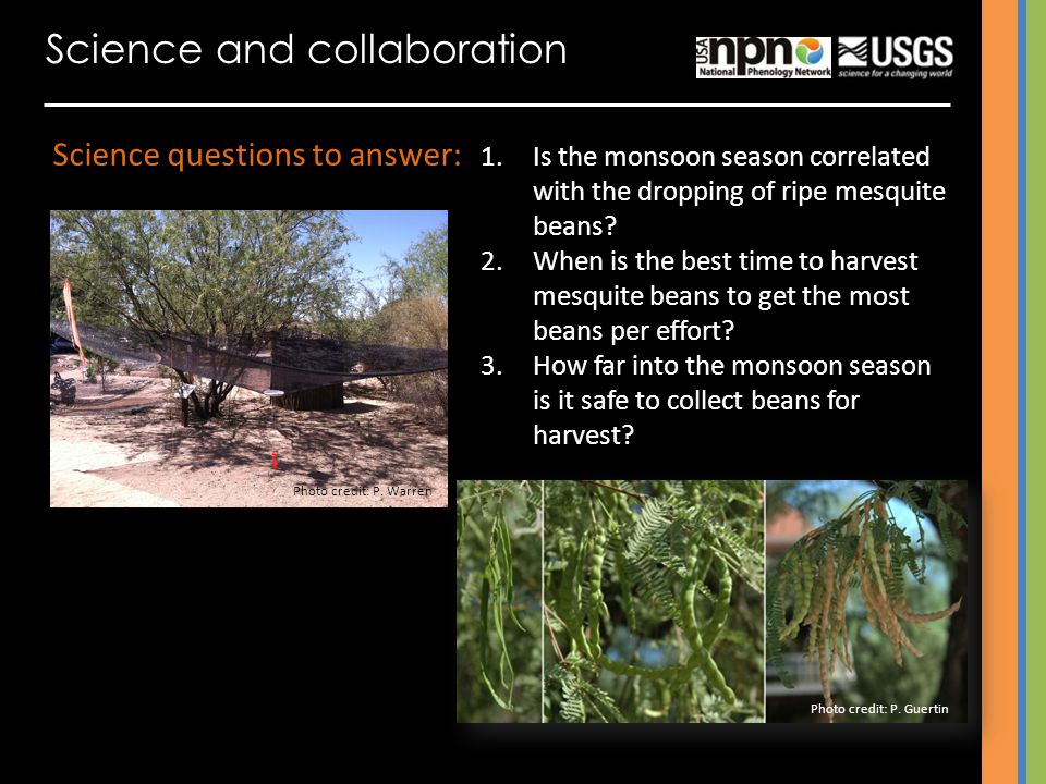 Science and collaboration Science questions to answer: 1.Is the monsoon season correlated with the dropping of ripe mesquite beans.