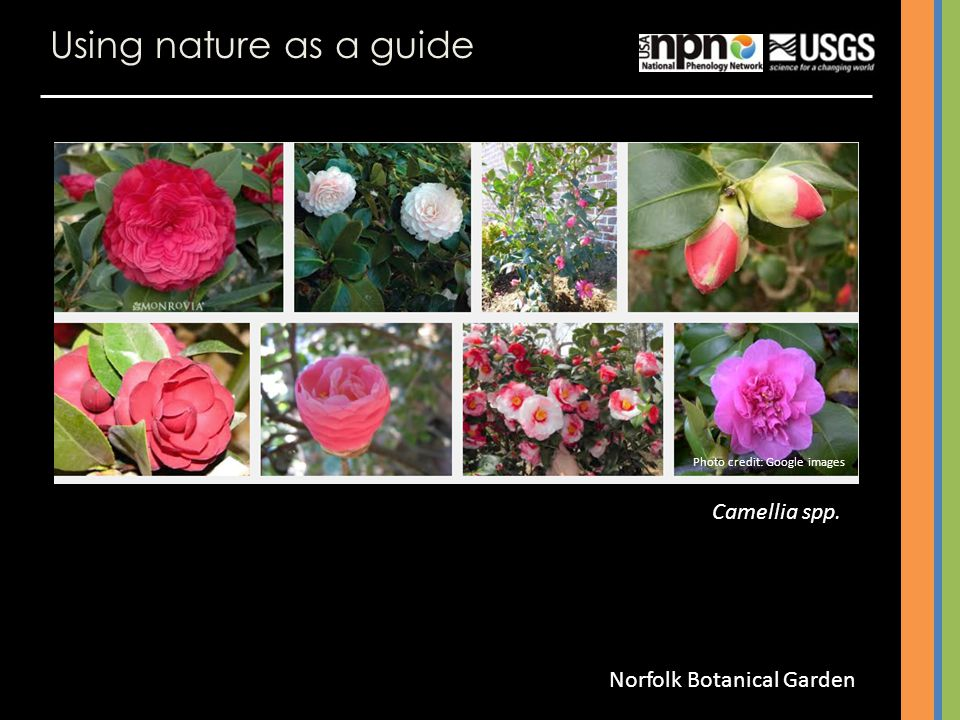 Using nature as a guide Camellia spp. Photo credit: Google images Norfolk Botanical Garden