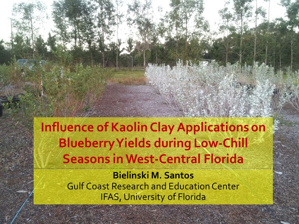 Influence of Kaolin Clay Applications on Blueberry Yields during Low-Chill Seasons in West-Central Florida Bielinski M. Santos Gulf Coast Research and
