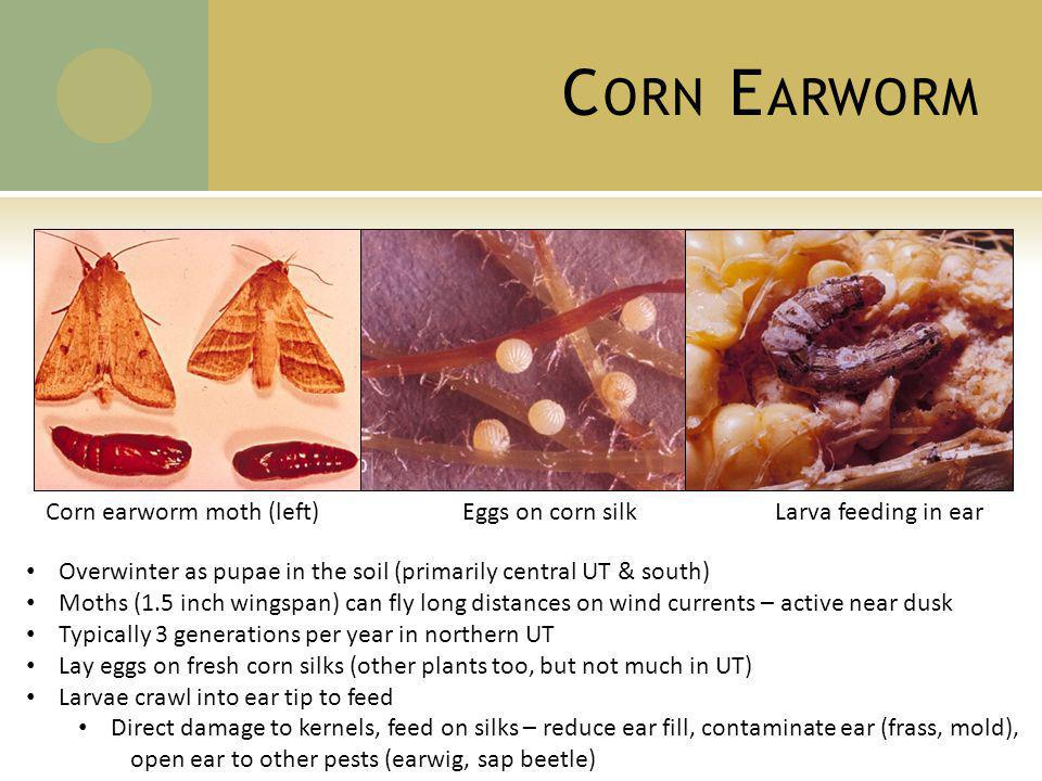 C ORN E ARWORM Overwinter as pupae in the soil (primarily central UT & south) Moths (1.5 inch wingspan) can fly long distances on wind currents – active near dusk Typically 3 generations per year in northern UT Lay eggs on fresh corn silks (other plants too, but not much in UT) Larvae crawl into ear tip to feed Direct damage to kernels, feed on silks – reduce ear fill, contaminate ear (frass, mold), open ear to other pests (earwig, sap beetle) Corn earworm moth (left)Eggs on corn silkLarva feeding in ear