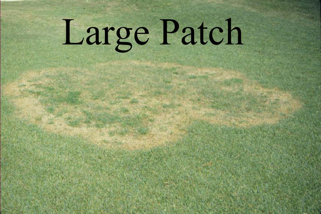 MANAGEMENT OF RHIZOCTONIA LARGE PATCH Cultural Management - Avoid N fertility in spring prior to mid-May and in fall after Sept.