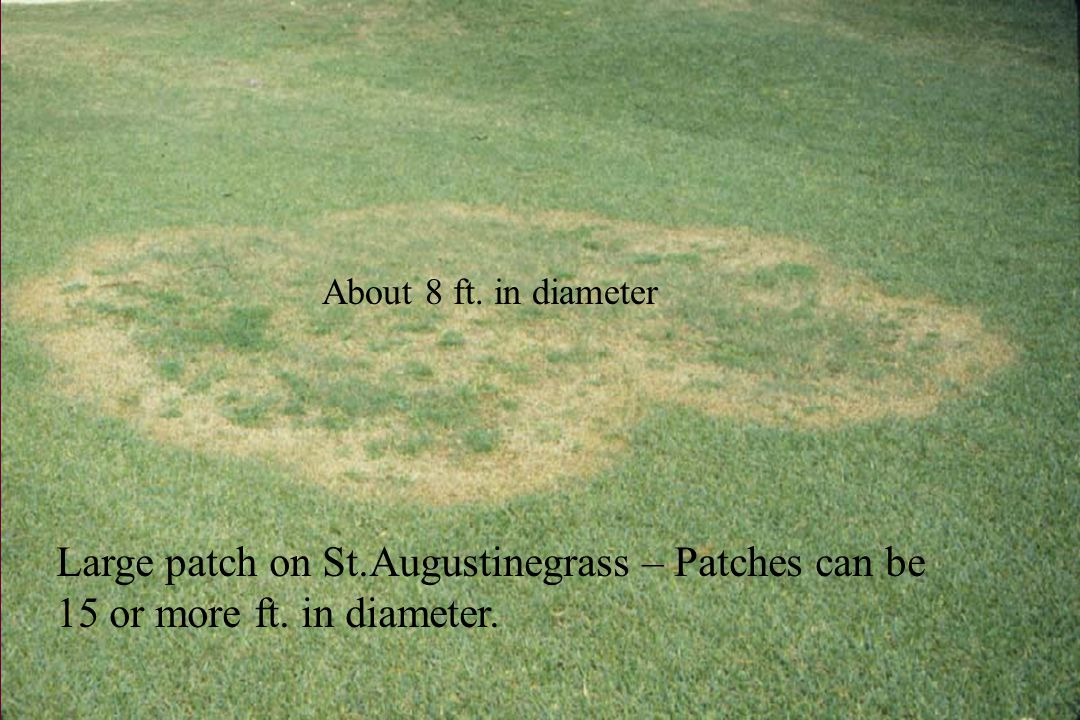 Large patch on hybrid bermudagrass.
