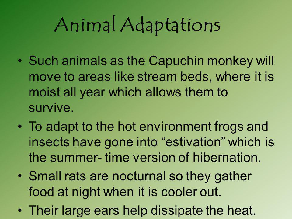 Such animals as the Capuchin monkey will move to areas like stream beds, where it is moist all year which allows them to survive. To adapt to the hot