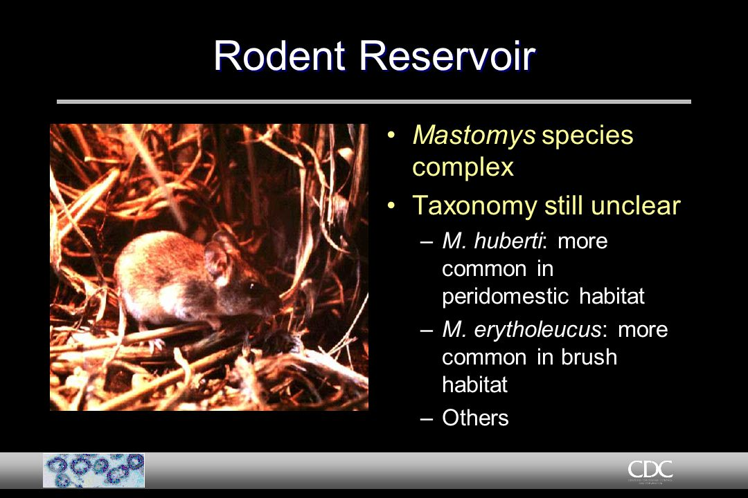 Rodent Reservoir Mastomys species complex Taxonomy still unclear –M.