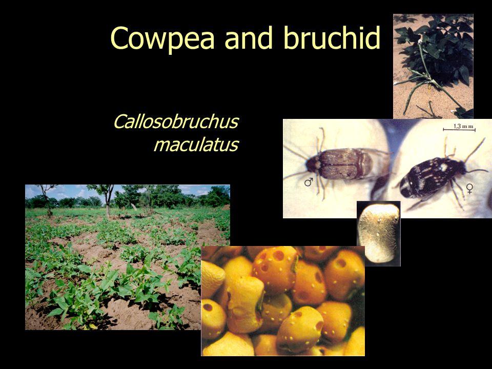 Cowpea and bruchid Callosobruchus maculatus
