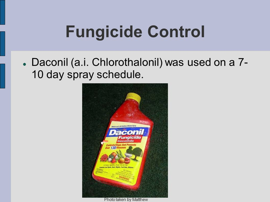 Fungicide Control Daconil (a.i. Chlorothalonil) was used on a 7- 10 day spray schedule.