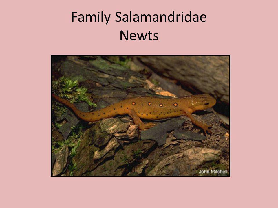 Family Salamandridae Newts