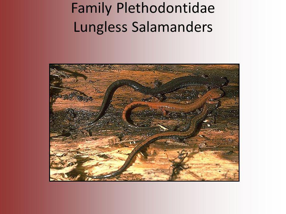 Family Plethodontidae Lungless Salamanders
