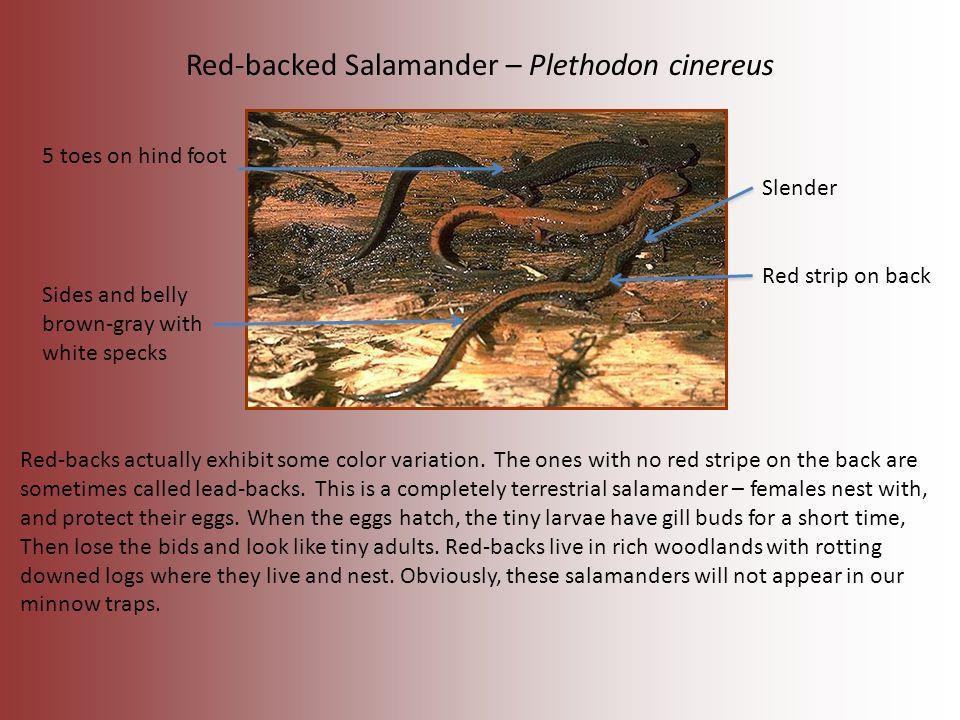 Red-backed Salamander – Plethodon cinereus Slender 5 toes on hind foot Red strip on back Sides and belly brown-gray with white specks Red-backs actual