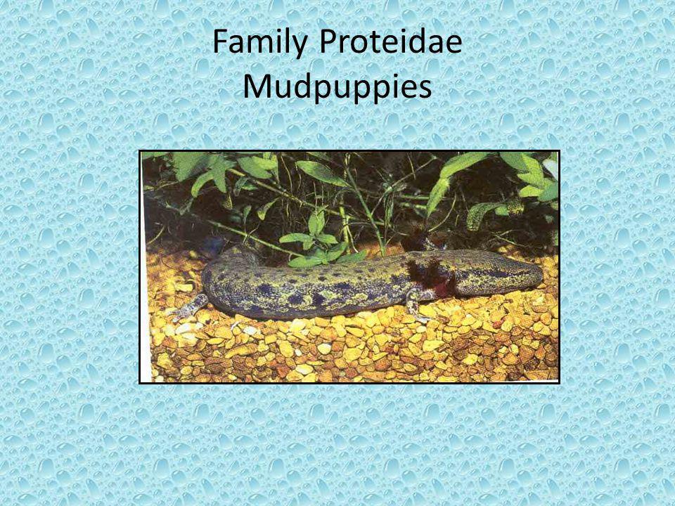 Family Proteidae Mudpuppies