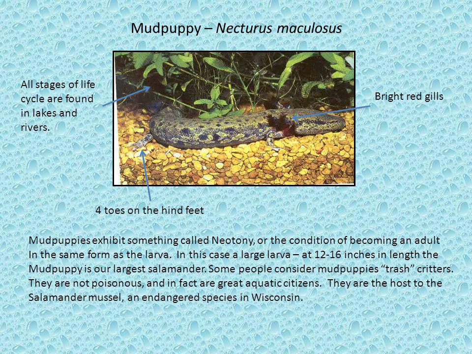 Mudpuppy – Necturus maculosus 4 toes on the hind feet Bright red gills Mudpuppies exhibit something called Neotony, or the condition of becoming an ad