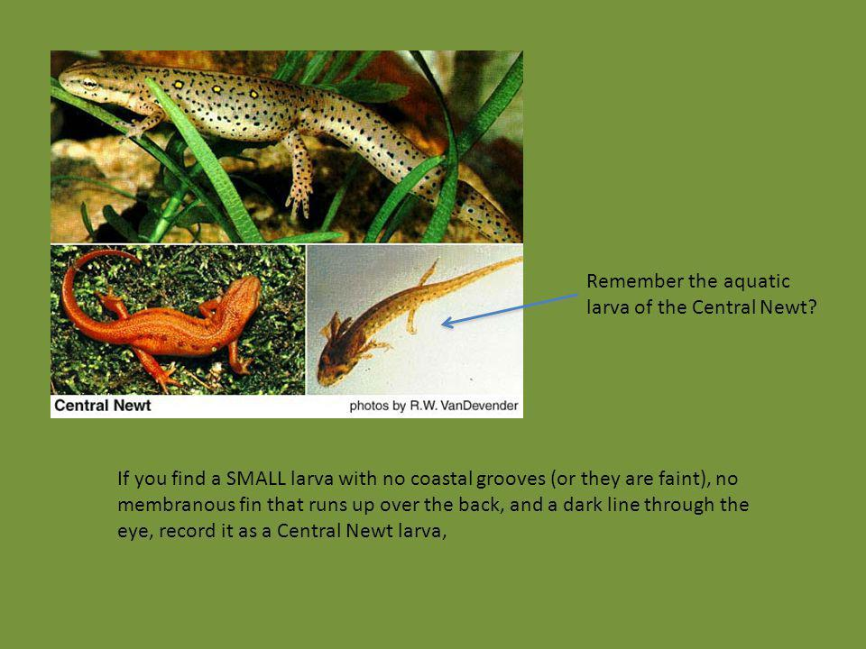 Remember the aquatic larva of the Central Newt? If you find a SMALL larva with no coastal grooves (or they are faint), no membranous fin that runs up
