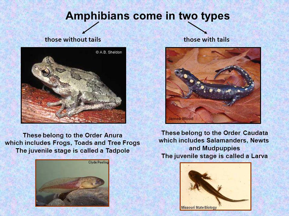 Amphibians come in two types those without tailsthose with tails These belong to the Order Anura which includes Frogs, Toads and Tree Frogs The juveni
