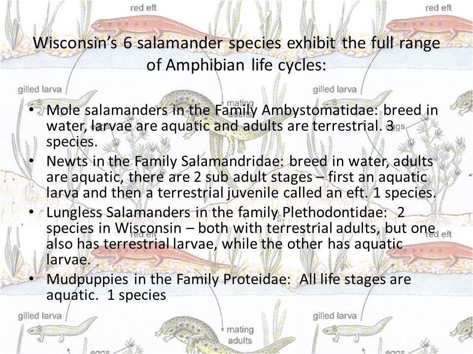 Wisconsins 6 salamander species exhibit the full range of Amphibian life cycles: Mole salamanders in the Family Ambystomatidae: breed in water, larvae