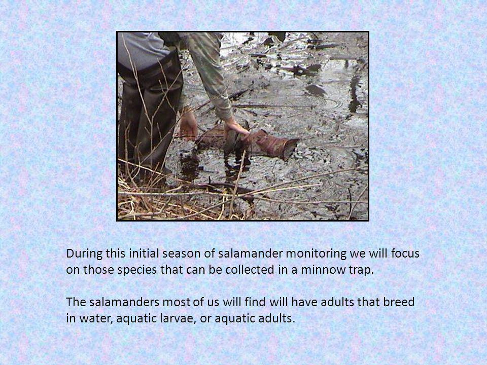 Here are important characteristics for identifying adults of Wisconsins 5 salamander species 1.