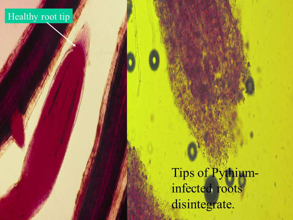 Tips of Pythium- infected roots disintegrate. Healthy root tip