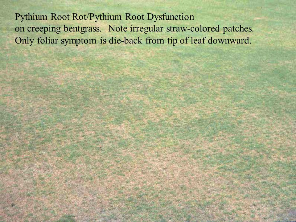 on creeping bentgrass. Note irregular straw-colored patches. Only foliar symptom is die-back from tip of leaf downward.