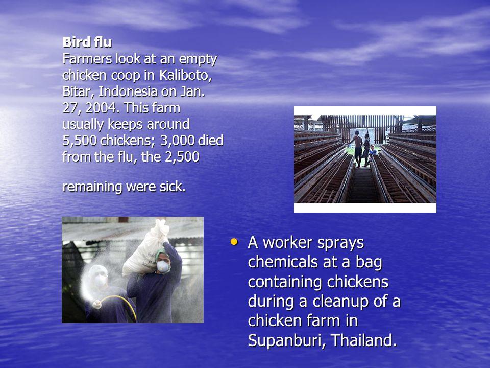 Bird flu Farmers look at an empty chicken coop in Kaliboto, Bitar, Indonesia on Jan.