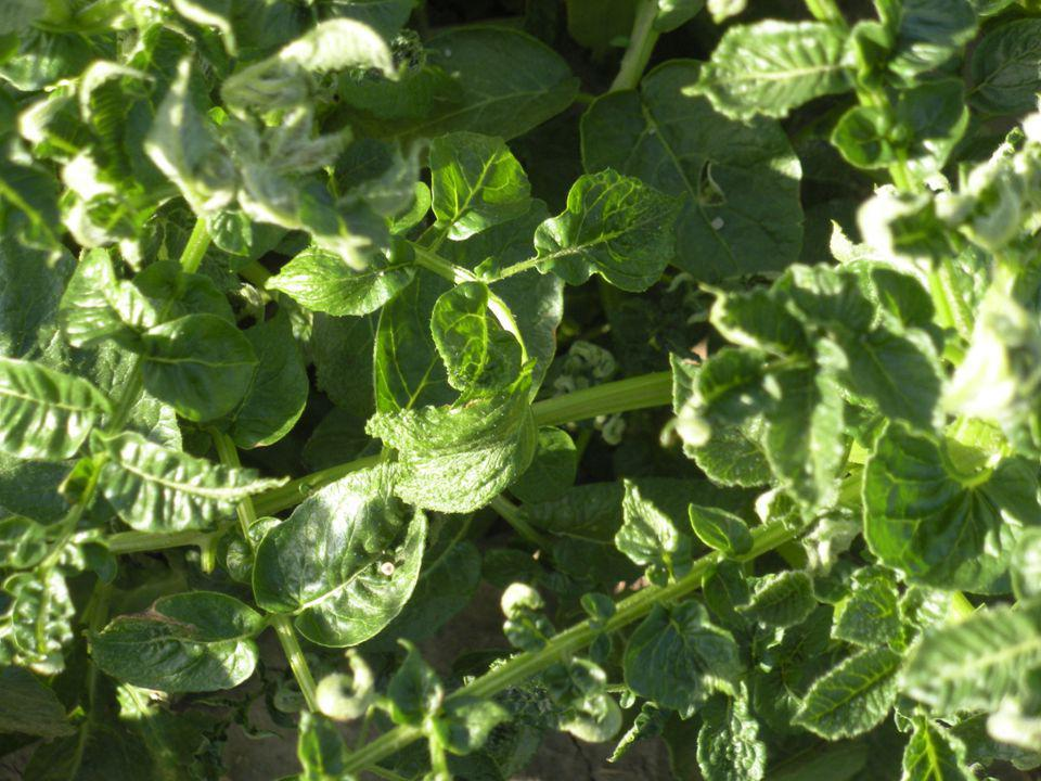 Aminopyralid Affect on Potatoes Persistence in the soil.