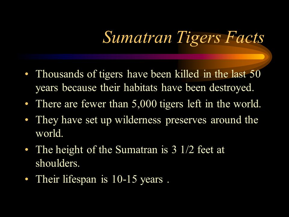 Sumatran Tigers Endangered Animals Report By: Bryan and Chase