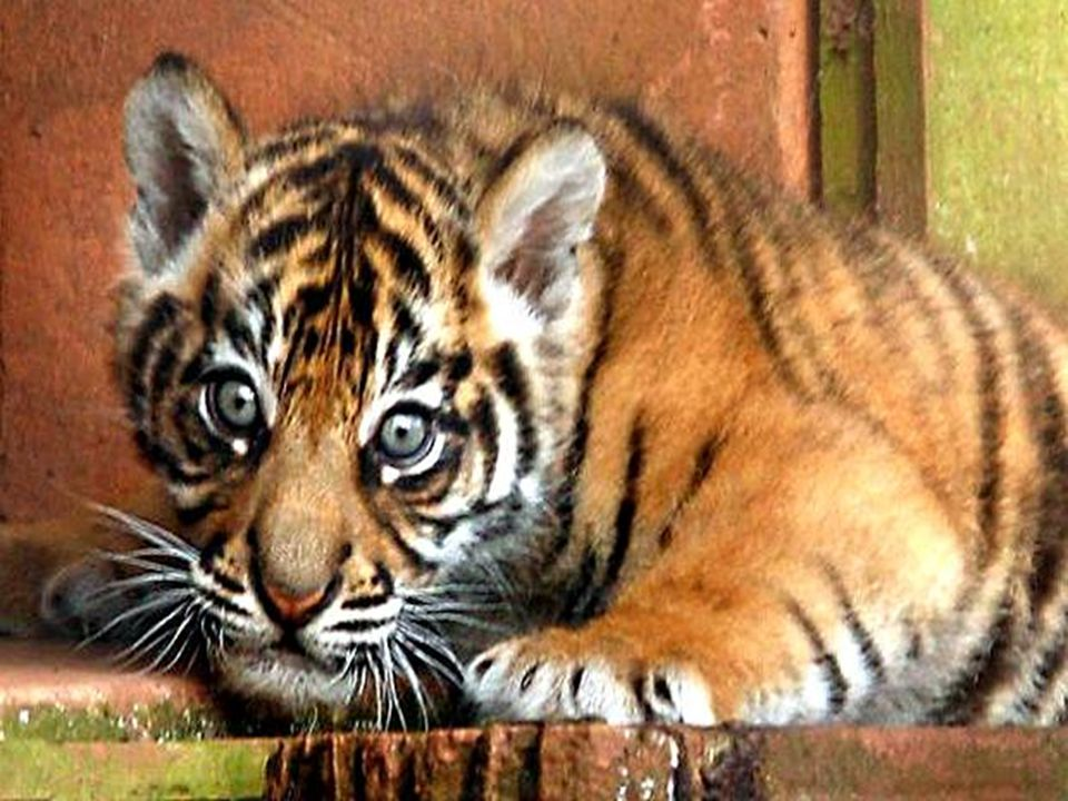 Sumatran Tigers Facts Thousands of tigers have been killed in the last 50 years because their habitats have been destroyed. There are fewer than 5,000