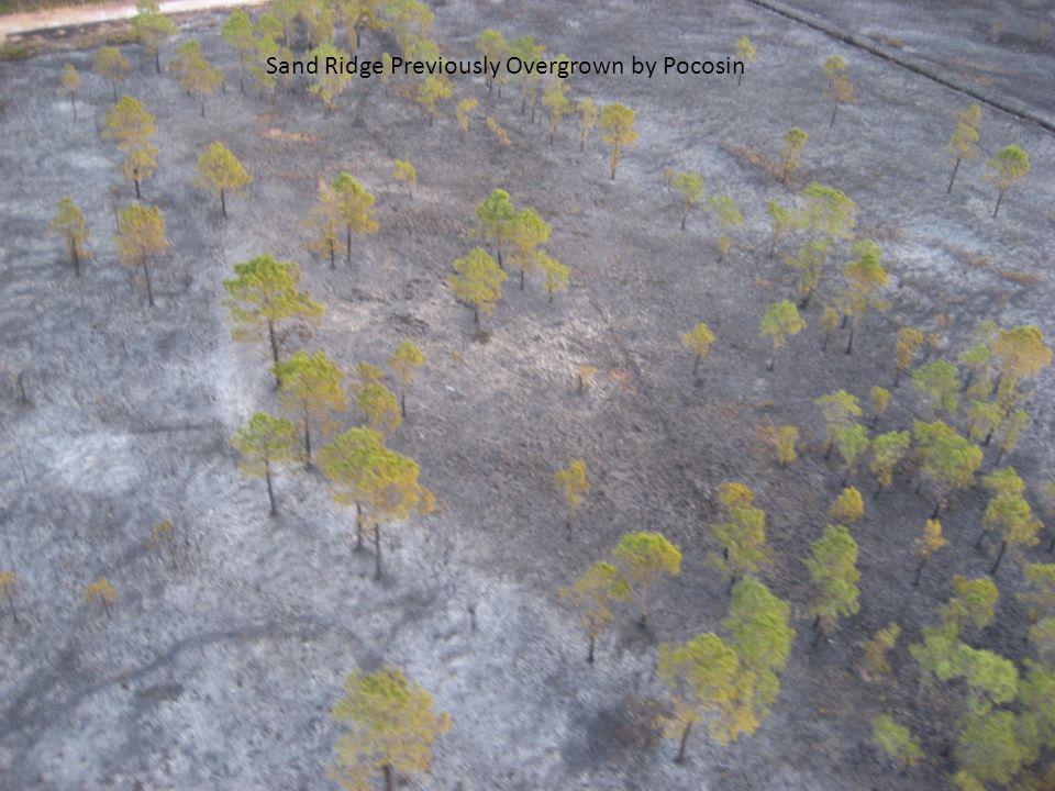 Sand Ridge Previously Overgrown by Pocosin