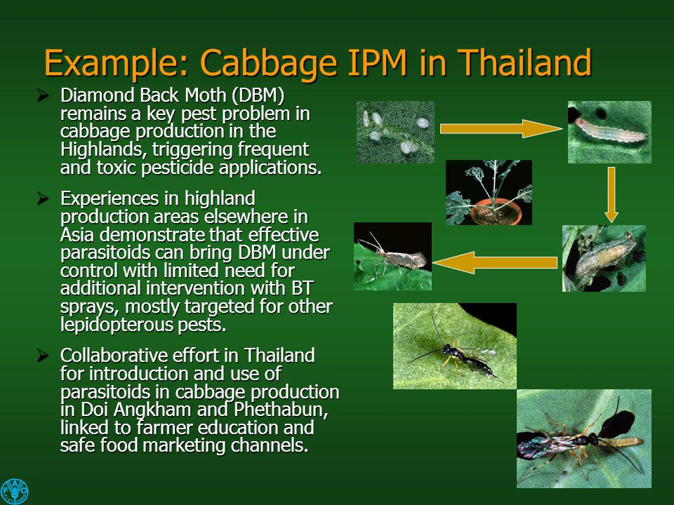 Example: Cabbage IPM in Thailand Diamond Back Moth (DBM) remains a key pest problem in cabbage production in the Highlands, triggering frequent and toxic pesticide applications.