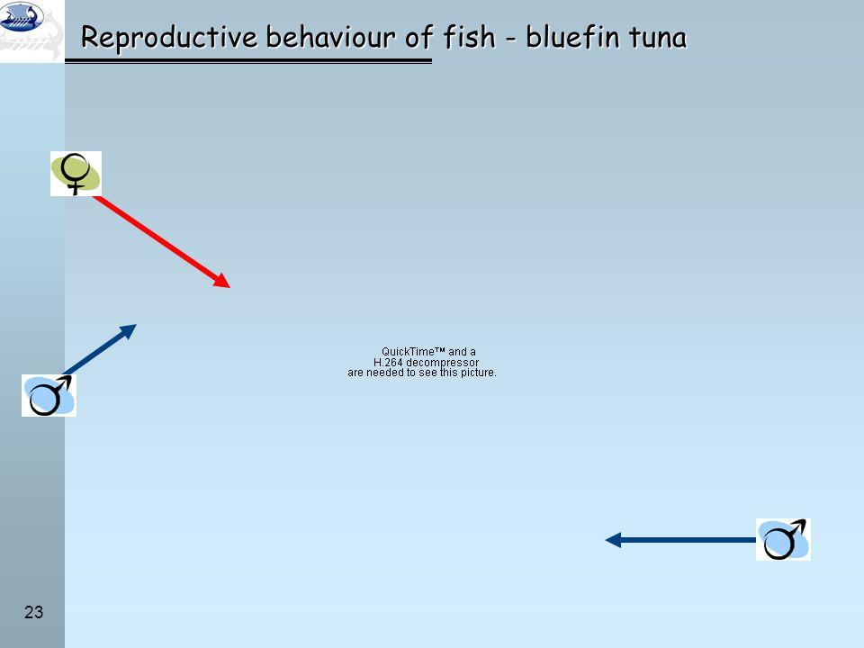 23 Reproductive behaviour of fish - bluefin tuna