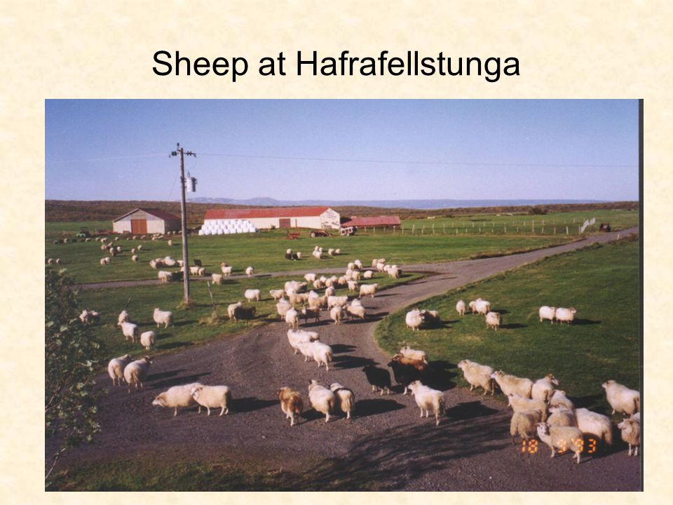 Sheep at Hafrafellstunga