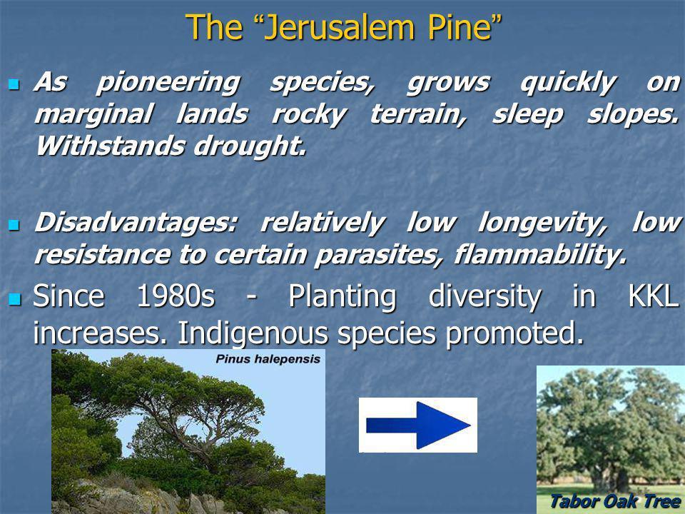The Jerusalem Pine The Jerusalem Pine As pioneering species, grows quickly on marginal lands rocky terrain, sleep slopes.