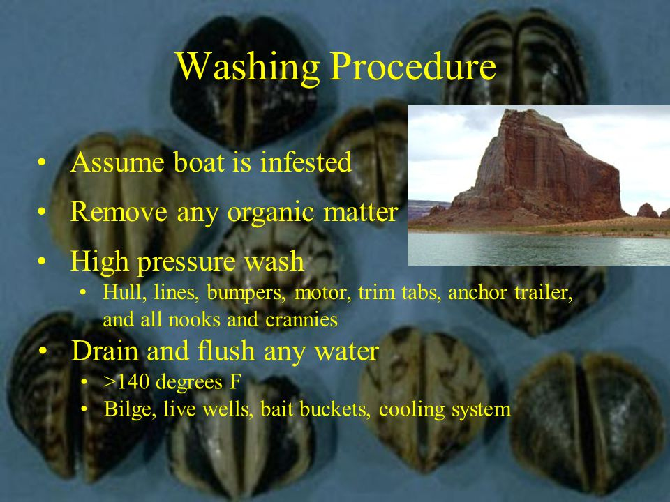 Washing Procedure Assume boat is infested Remove any organic matter High pressure wash Hull, lines, bumpers, motor, trim tabs, anchor trailer, and all