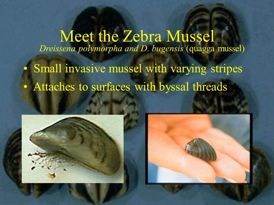 Dreissena polymorpha and D. bugensis (quagga mussel) Small invasive mussel with varying stripes Attaches to surfaces with byssal threads Meet the Zebr