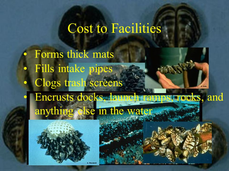 Cost to Facilities Forms thick mats Fills intake pipes Clogs trash screens Encrusts docks, launch ramps, rocks, and anything else in the water