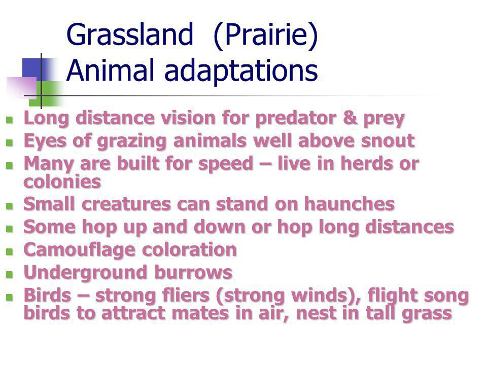 Grassland (Prairie) Animal adaptations Long distance vision for predator & prey Long distance vision for predator & prey Eyes of grazing animals well above snout Eyes of grazing animals well above snout Many are built for speed – live in herds or colonies Many are built for speed – live in herds or colonies Small creatures can stand on haunches Small creatures can stand on haunches Some hop up and down or hop long distances Some hop up and down or hop long distances Camouflage coloration Camouflage coloration Underground burrows Underground burrows Birds – strong fliers (strong winds), flight song birds to attract mates in air, nest in tall grass Birds – strong fliers (strong winds), flight song birds to attract mates in air, nest in tall grass