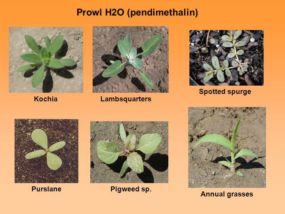 Prowl H2O (pendimethalin) KochiaLambsquarters Purslane Pigweed sp. Annual grasses Spotted spurge