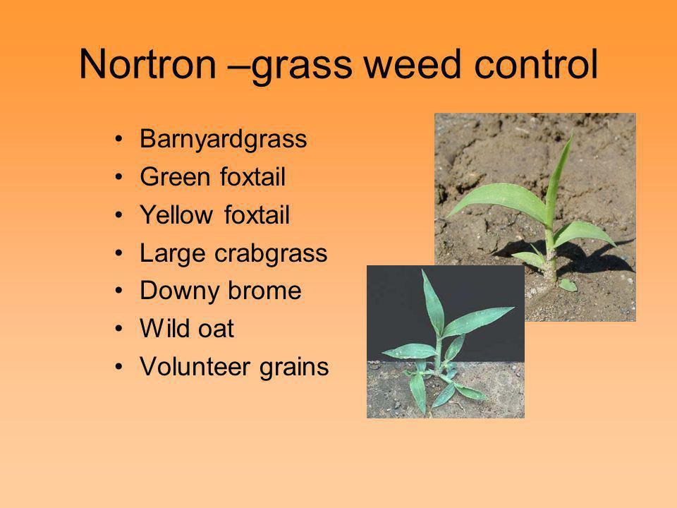 Nortron –grass weed control Barnyardgrass Green foxtail Yellow foxtail Large crabgrass Downy brome Wild oat Volunteer grains