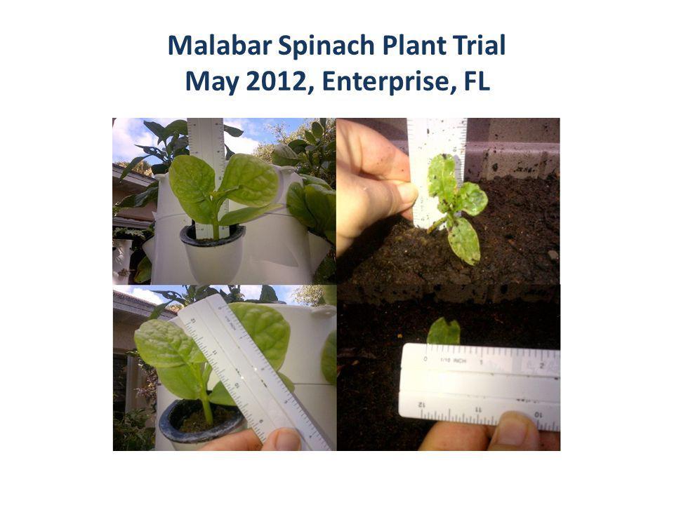 Malabar Spinach Plant Trial May 2012, Enterprise, FL