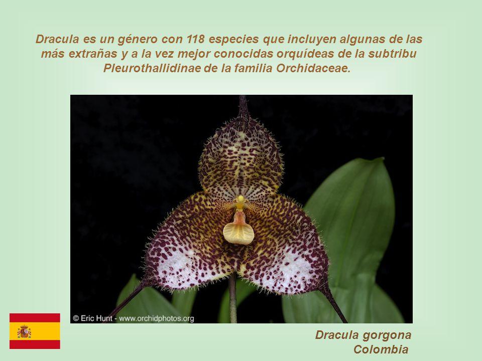 Dracula es un género con 118 especies que incluyen algunas de las más extrañas y a la vez mejor conocidas orquídeas de la subtribu Pleurothallidinae de la familia Orchidaceae.