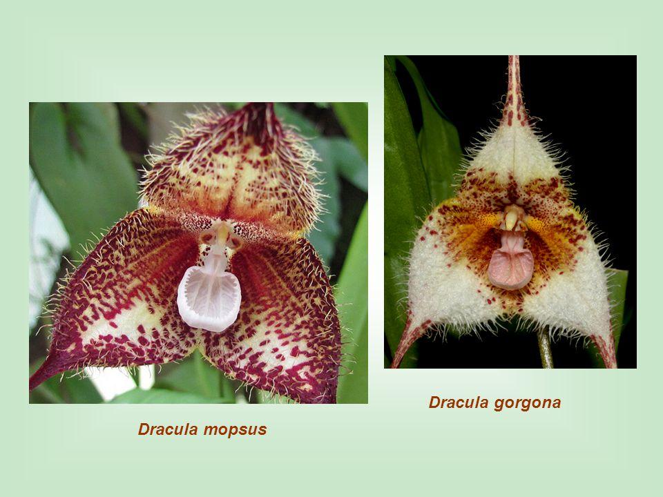 Dracula gorgona Dracula mopsus