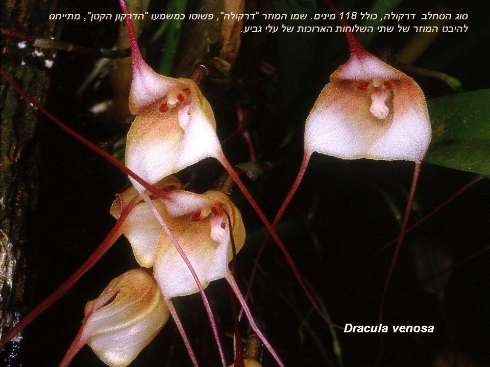 Dracula venosa סוג הסחלב דרקולה, כולל 118 מינים.