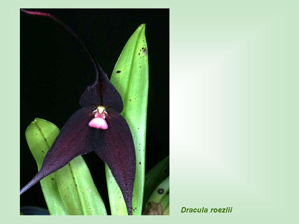 Dracula roezlii